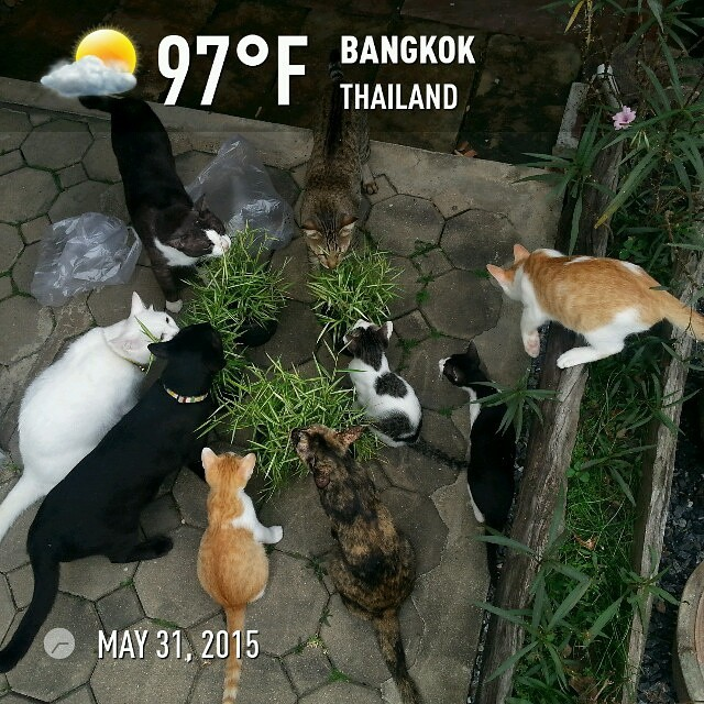 🐱 #cats excited about grass for some reason @instaweatherpro #instaweather #instaweatherpro #weather #wx #bangkok #thailand