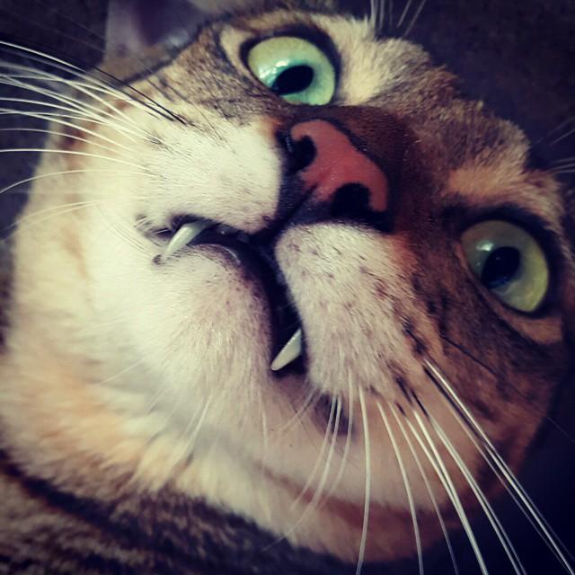 Tiger 🐅 #cats 🐱