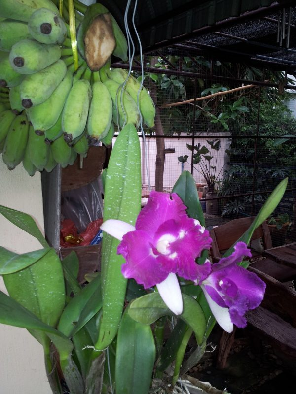 Orchids and bananas in my garden
