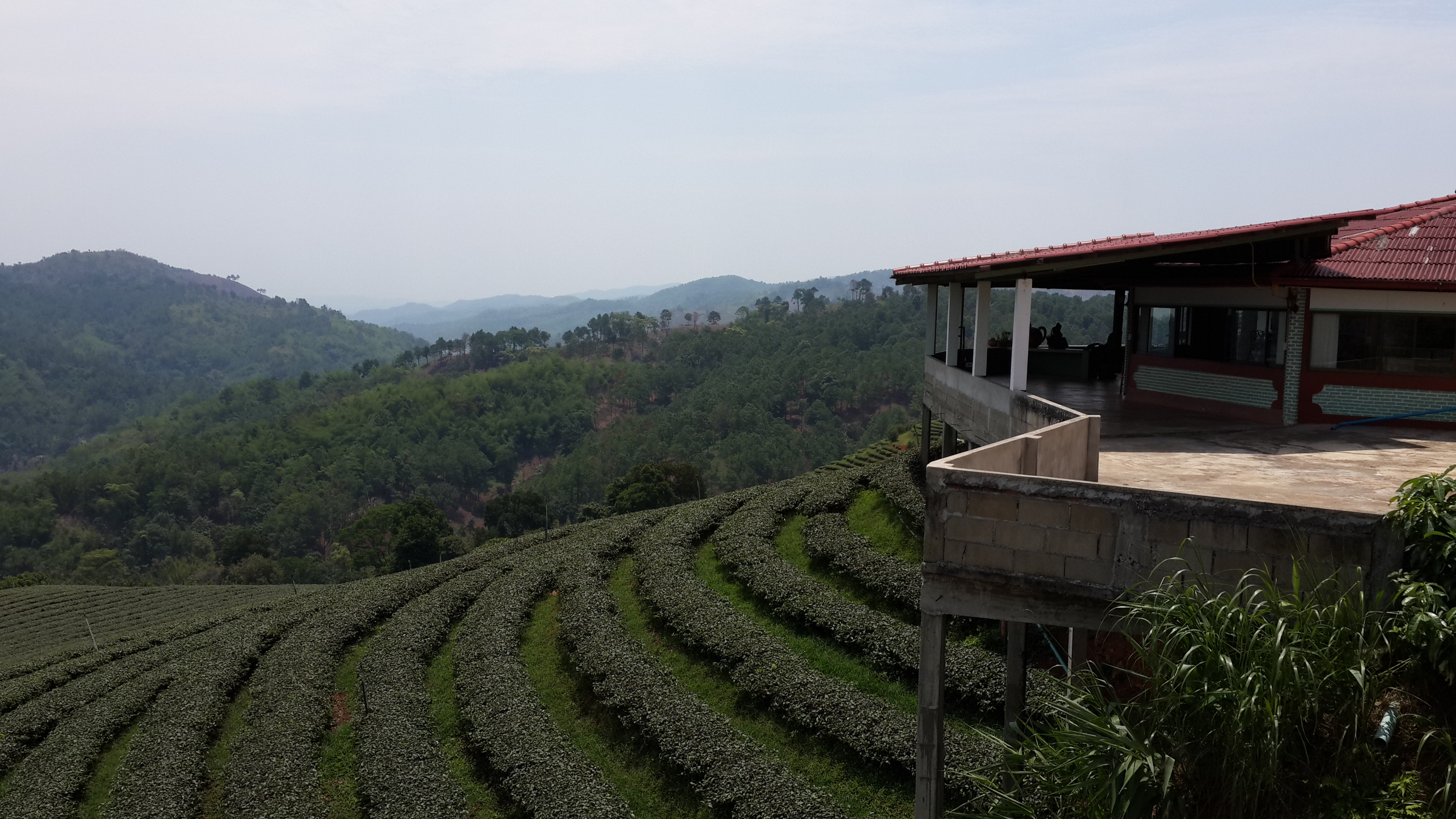 Tea plantation at Mae Salong